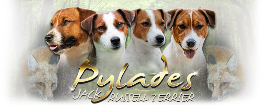 Pylades | Jack Russell terrier